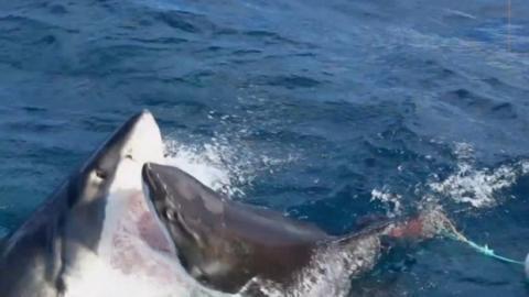 Bei Bootsausflug: Weißer Hai greift an