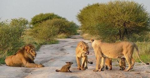 Löwen nähern sich einem Fuchsbaby. Was sie dann machen, bricht einem das Herz