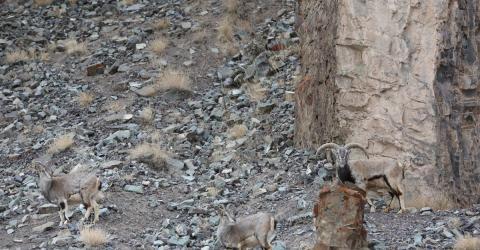 Findet ihr den Schneeleoparden, der in diesem Bild versteckt ist?