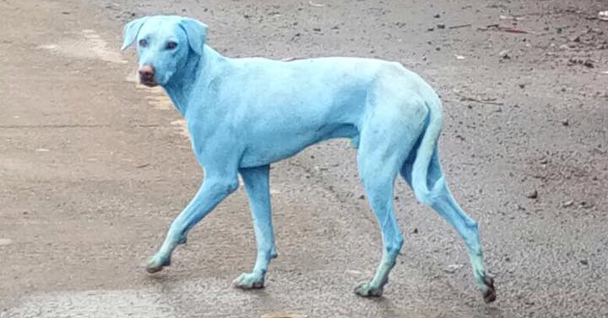 Das Geheimnis der blauen Hunde ist gelüftet