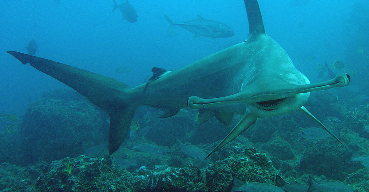 Seltsame Todesfälle im Aquarium: Haie begehen massenweise Suizid