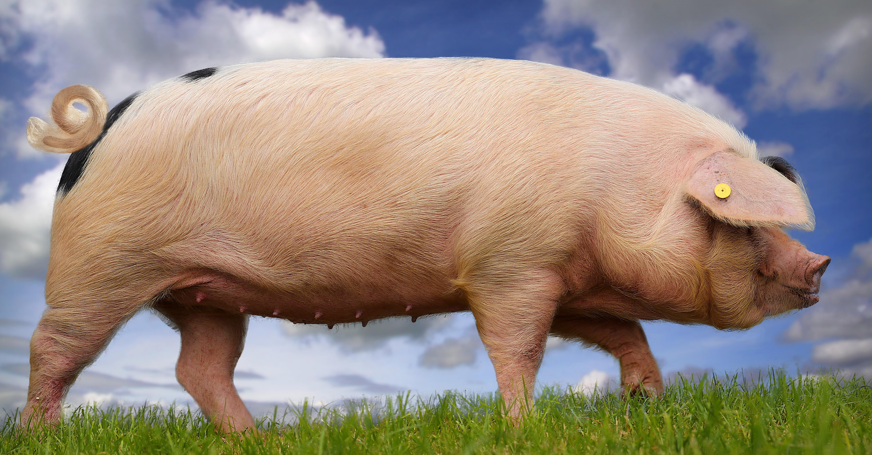 Spenderorgane sollen demnächst mit dieser Methode in Schweinen gezüchtet werden