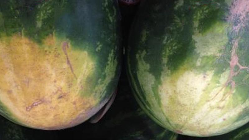 Nur eine der beiden Wassermelonen ist gut. Kaum jemand kennt diesen Trick!