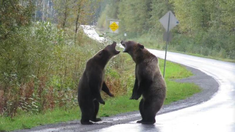 Frau entdeckt kämpfende Grizzlybären am Straßenrand (Video)