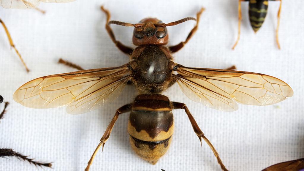 Perfekt konserviert in Bernstein: Eine 100 Millionen Jahre alte Biene wurde entdeckt