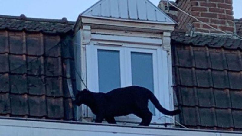 Ein Schwarzer Panther läuft mitten durch eine nordfranzösische Stadt und löst Panik aus (VIDEO)