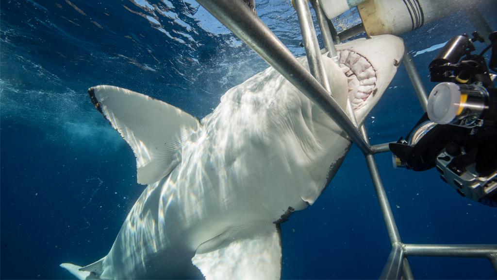 Riesiger Weißer Hai dringt in Tauchkäfig ein und bringt Taucher in Gefahr