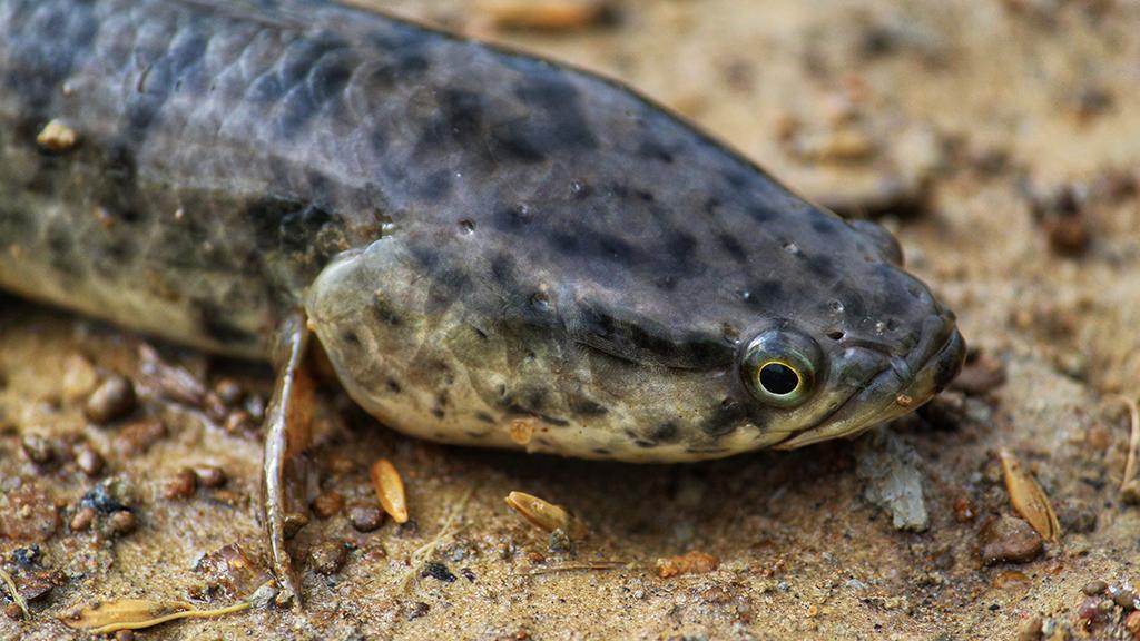 Gefahr für Ökosystem: Monsterfisch tötet sowohl im Wasser als auch auf dem Land