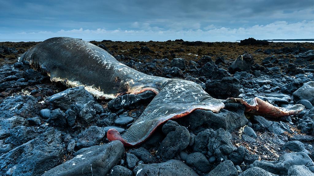 Pottwal: Sein Körper spuckt 100 Kilogramm Plastikmüll aus
