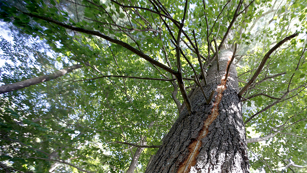 Seltenes Naturschauspiel: Nach Blitzschlag brennt Baum in seinem Inneren (Video)