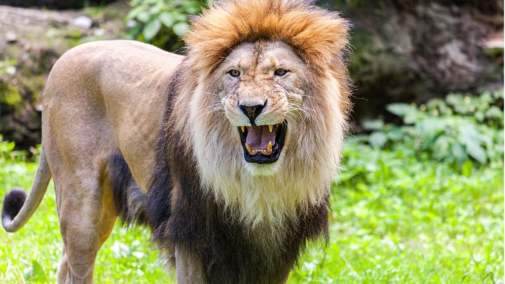 Überzeugt, dass ihr nichts geschehen wird: Frau steigt in Löwengehege