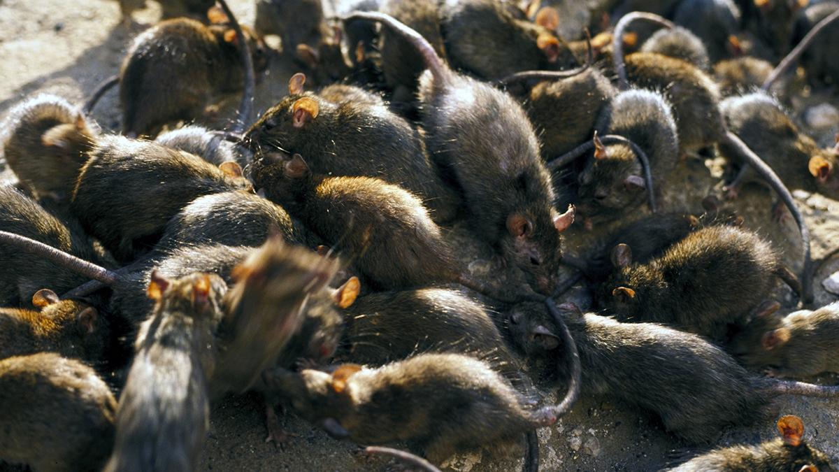 Ratten Corona