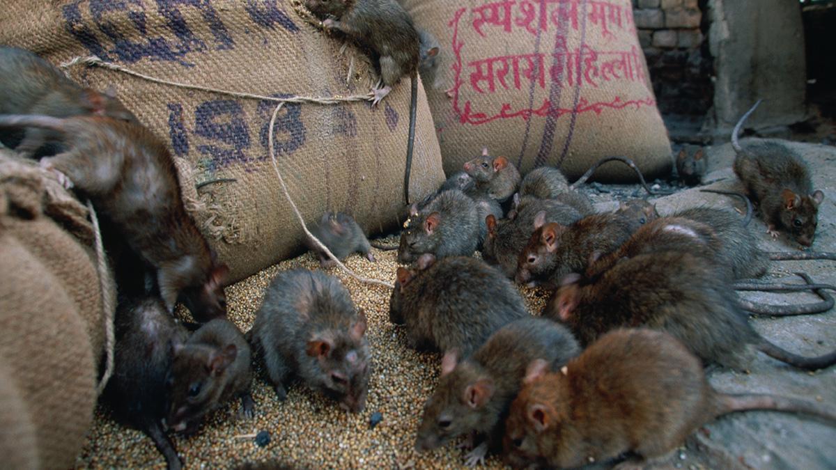 Ratten Tönnies
