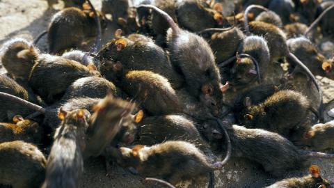 Grausige Beobachtung: Das machen Ratten während der Corona-Krise