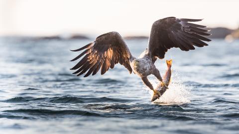 Nach 240 Jahren: Dieser legendäre Raubvogel kehrt nach Europa zurück
