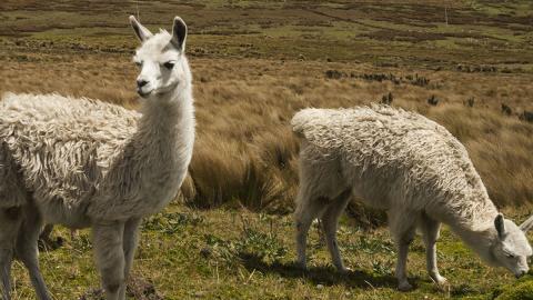 Hoffnung gegen Covid-19: Lamas könnten Antikörper in sich tragen