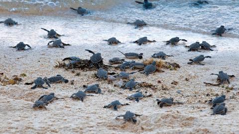 Indien: Tausende Baby-Schildkröten sorgen für unglaubliches Naturspektakel