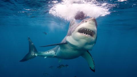Der Weiße Hai wird immer mehr gejagt: Von einem noch größeren Raubtier