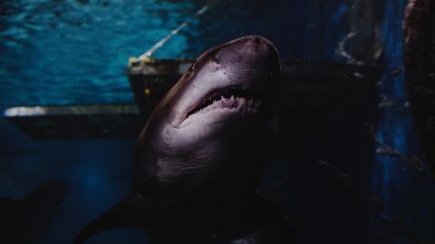 Blutrausch: Das Video eines Weißen Hais geht viral