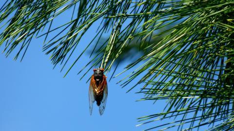 Invasion in den USA: Milliarden Zikaden kommen aus der Erde