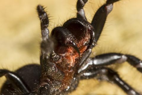 Wegen Überschwemmungen: Gefährliche Spinnen-Invasion in Australien (Video)