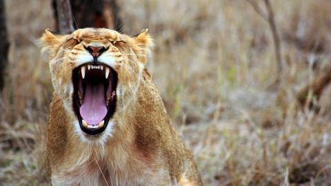 Darum bringt gemeinsames Gähnen im Tierreich soziale Vorteile
