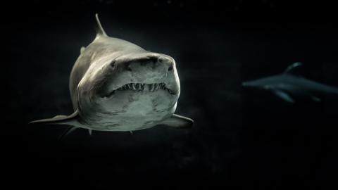 Der größte weiße Hai ändert seine Richtung und schwimmt nach Europa