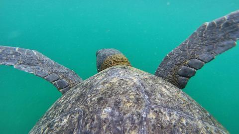 Seit 100 Jahren ausgestorben: Riesige Galapagos-Schildkröte ist wieder aufgetaucht