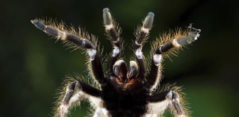 Spinnen könnten die Menschheit auslöschen – innerhalb eines Jahres