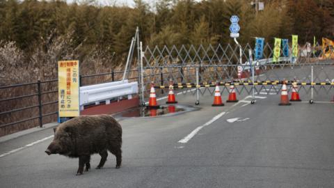 Nuklear-Schweine: Forscherteam entdeckt neue Tierpopulation in Fukushima