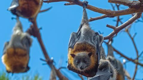 Neues Coronavirus in britischen Fledermäusen entdeckt