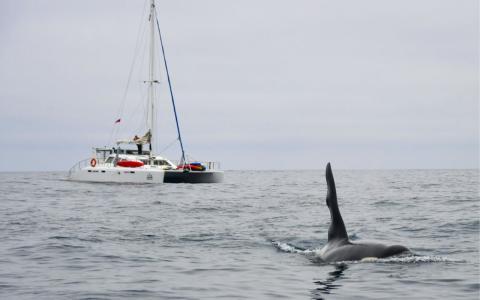 Orca-Angriffe auf Segelboote: Wissenschaftler:innen verwundert über seltsames Verhalten der Tiere