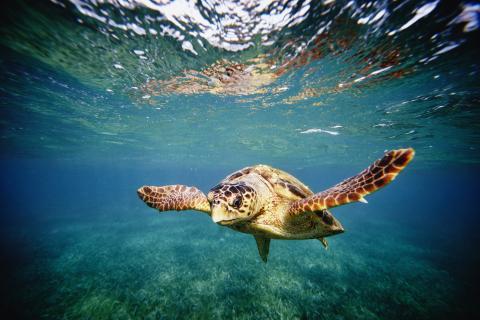 Seltener Fund: In den USA entdeckt man eine zweiköpfige Meeresschildkröte