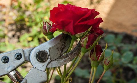 Rosen im Frühjahr: Darauf müsst ihr achten, um später volle Blüten zu haben!