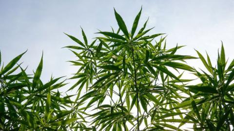 Studie: Cannabis könnte das beste Heilmittel für zwei ernsthafte Krankheiten sein
