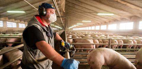 Neues Coronavirus auf Menschen übertragbar: Schweineerreger aus China beunruhigt Forscher