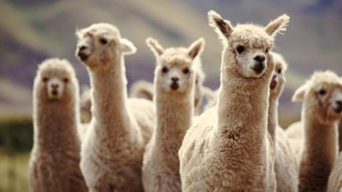 Mit Lamas gegen Covid-19: Neue Erkenntnisse sind vielversprechend