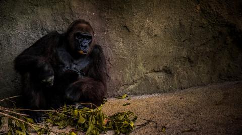 Corona: Mehrere Gorillas positiv getestet