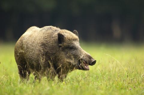 Jäger essen Wildschweinfleisch und lösen beinahe nächste Pandemie aus