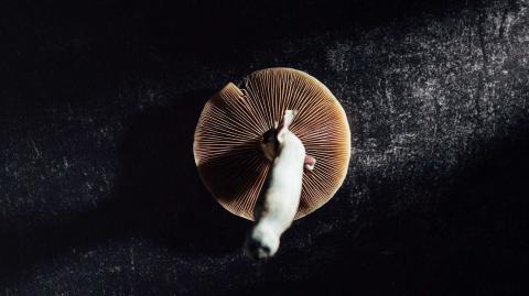 """""""Magic Mushrooms"""": Wie die verbotene Substanz bei schweren Erkrankungen helfen könnte"""