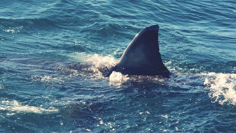 Mitten im Ozean entdecken Forscher einen unbekannten Hai: Sein Kopf sieht richtig seltsam aus