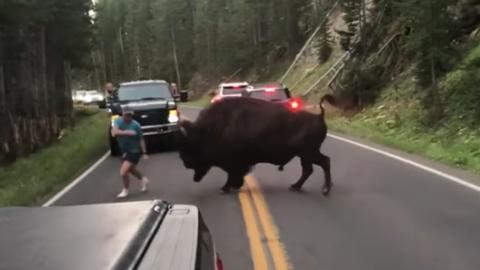 Mann provoziert ein Bison im Yellowstone-Nationalpark und bereut es sofort