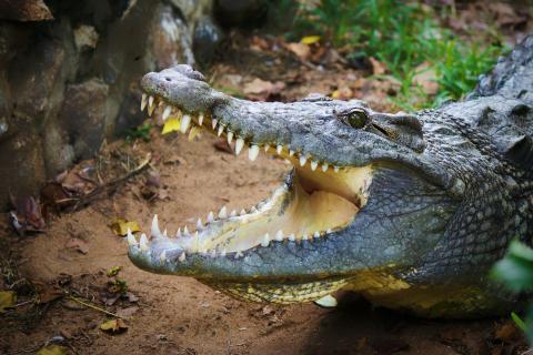 4-Meter-Alligator erlegt: Jäger entdeckt 5.000 Jahre altes Relikt im Magen