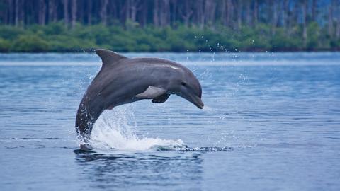 Ein Delfin wird dabei beobachtet, wie er sich einen ganz besonderen Spielkameraden schnappt
