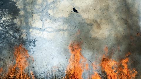 """Aborigines kennen sie schon lange: """"Feuervögel"""" vergrößern die Buschbrände"""