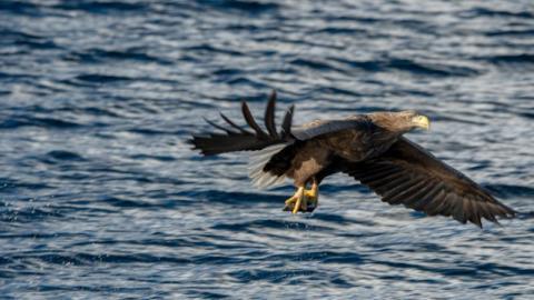 Zum ersten Mal seit 100 Jahren: Seeadler werden in Großbritannien gesichtet