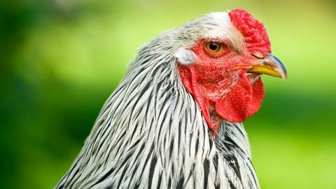 Tierische Mutation: Das ist der größte Hahn der Welt