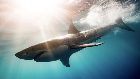 Taucherin begegnet der größte Hai, der je gesichtet wurde
