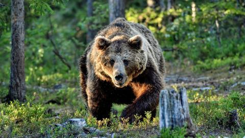 Schreckliche Begegnung: Schwarzbär greift Mann aus dem Nichts an