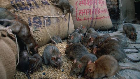 Tönnies-Produkte betroffen: Kühlhaus in Niedersachsen von Ratten befallen